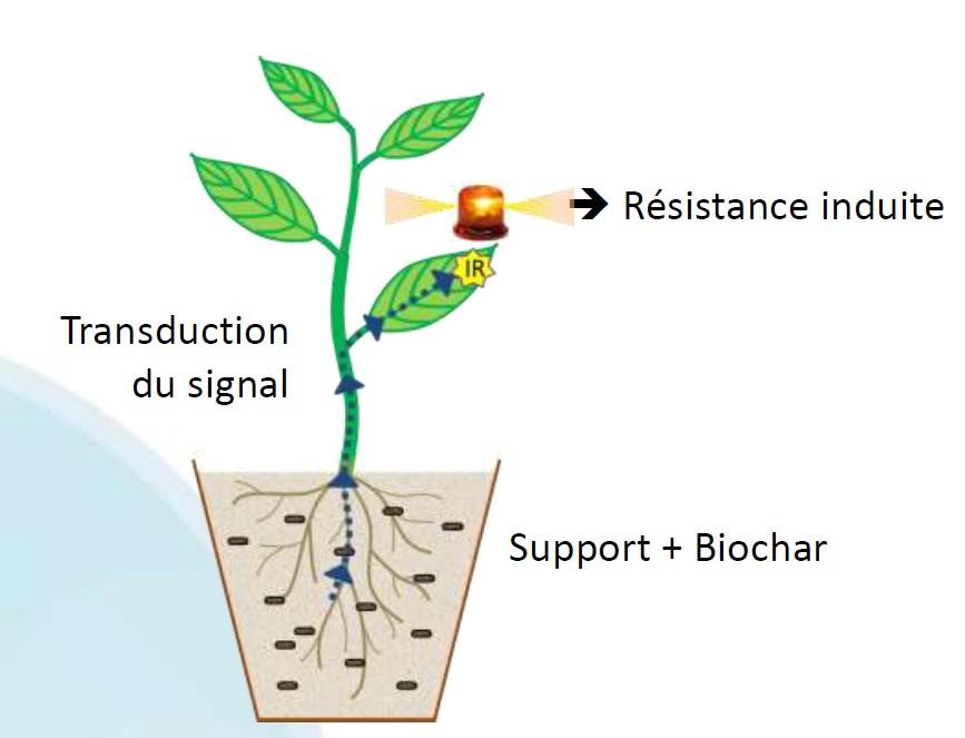 Biochar préparation des sols